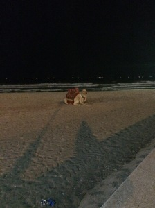Camel, Ajman Beach