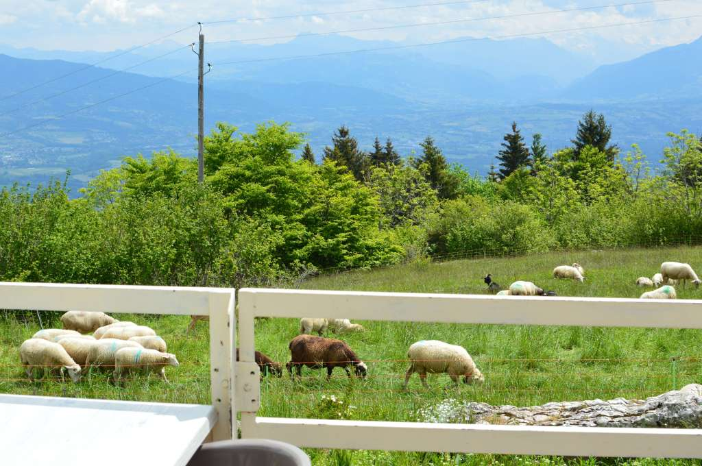 Sheep, Mont Saleve, France (2)
