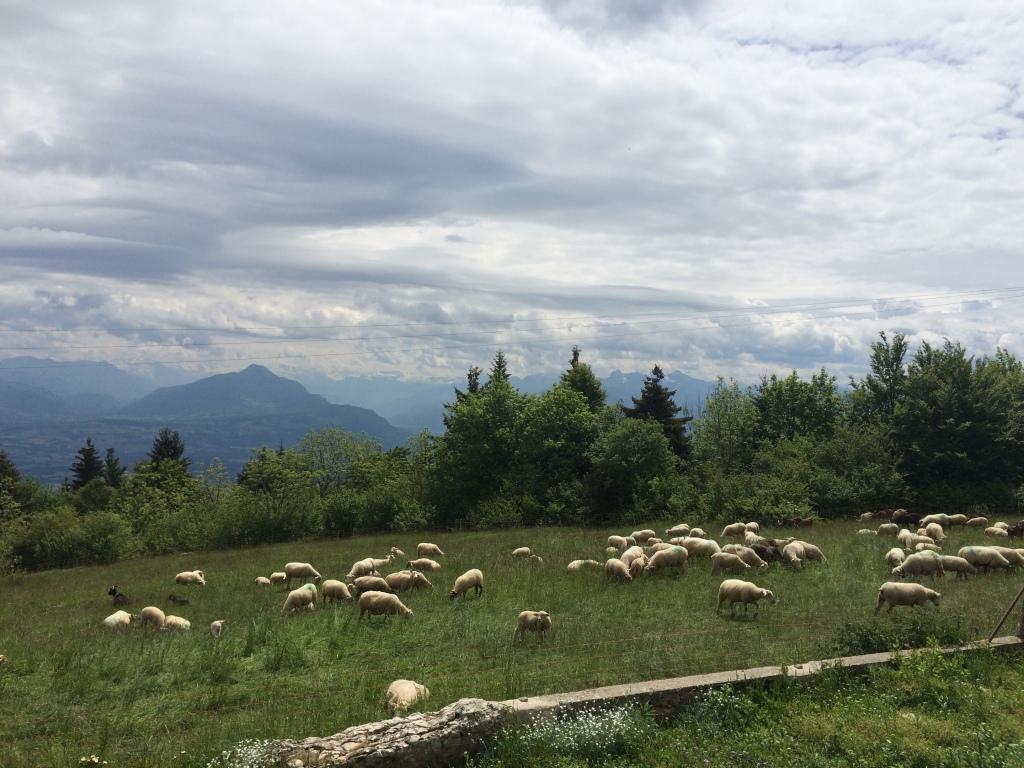 Sheep, Mont Saleve, France
