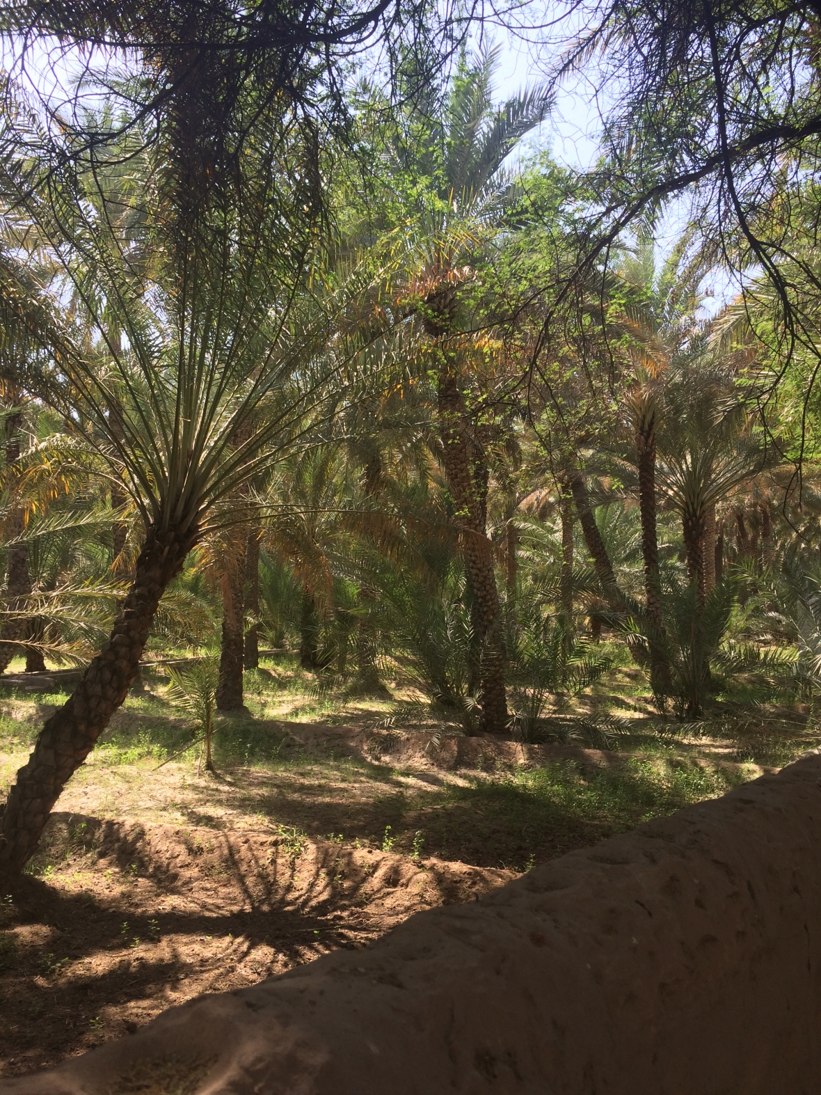 Al Ain Oasis, Al Ain, UAE