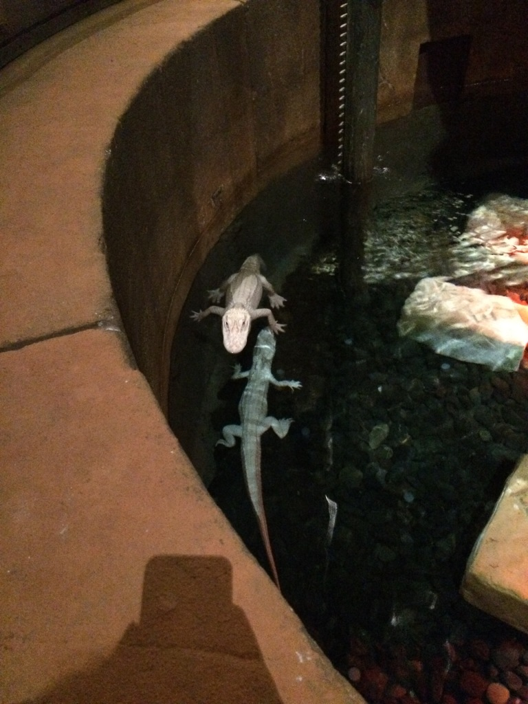 Albino Alligators In Tank, Lost Chambers Aquarium, Dubai, UAE
