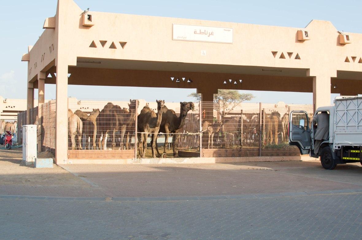 Black Camels, Camel Market, Al Ain, UAE