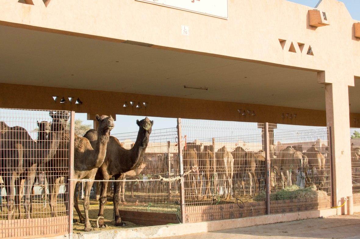 Black Camels, Camels, Camel Market, Al Ain, UAE