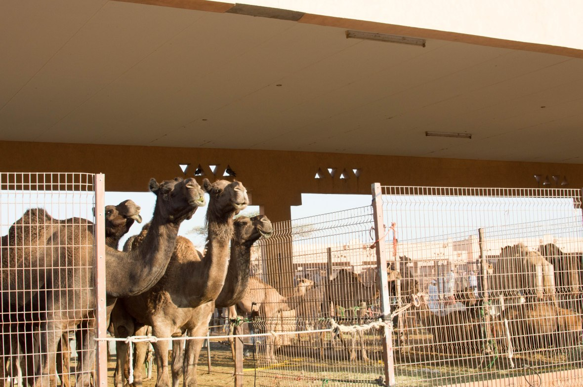 Black Camels, Livestock Market, UAE