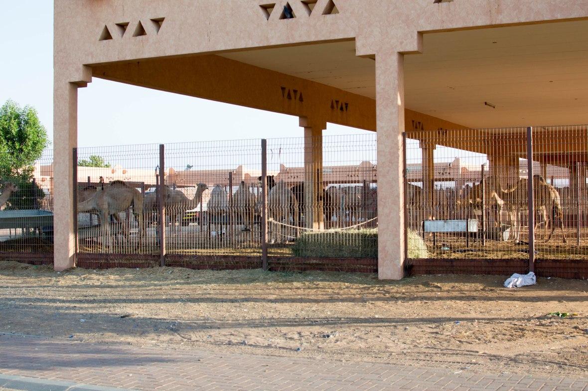 Camel Market, Al Ain, UAE