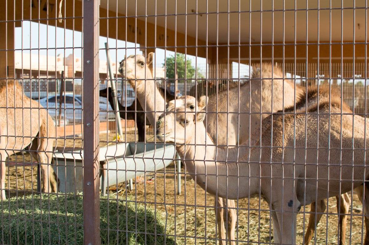 Camels, Camel Market, Al Ain, UAE (2)