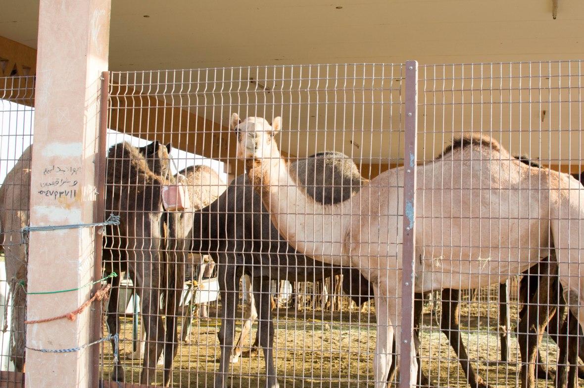 Camels, Camel Market, Al Ain, UAE (3)