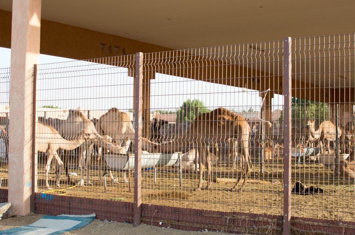 Camels, Camel Market, Al Ain, UAE (4)
