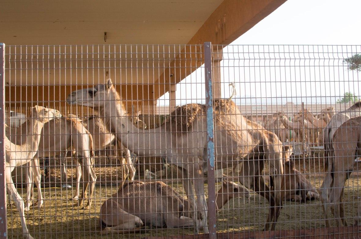 Camels, Camel Market, Al Ain, UAE (5)