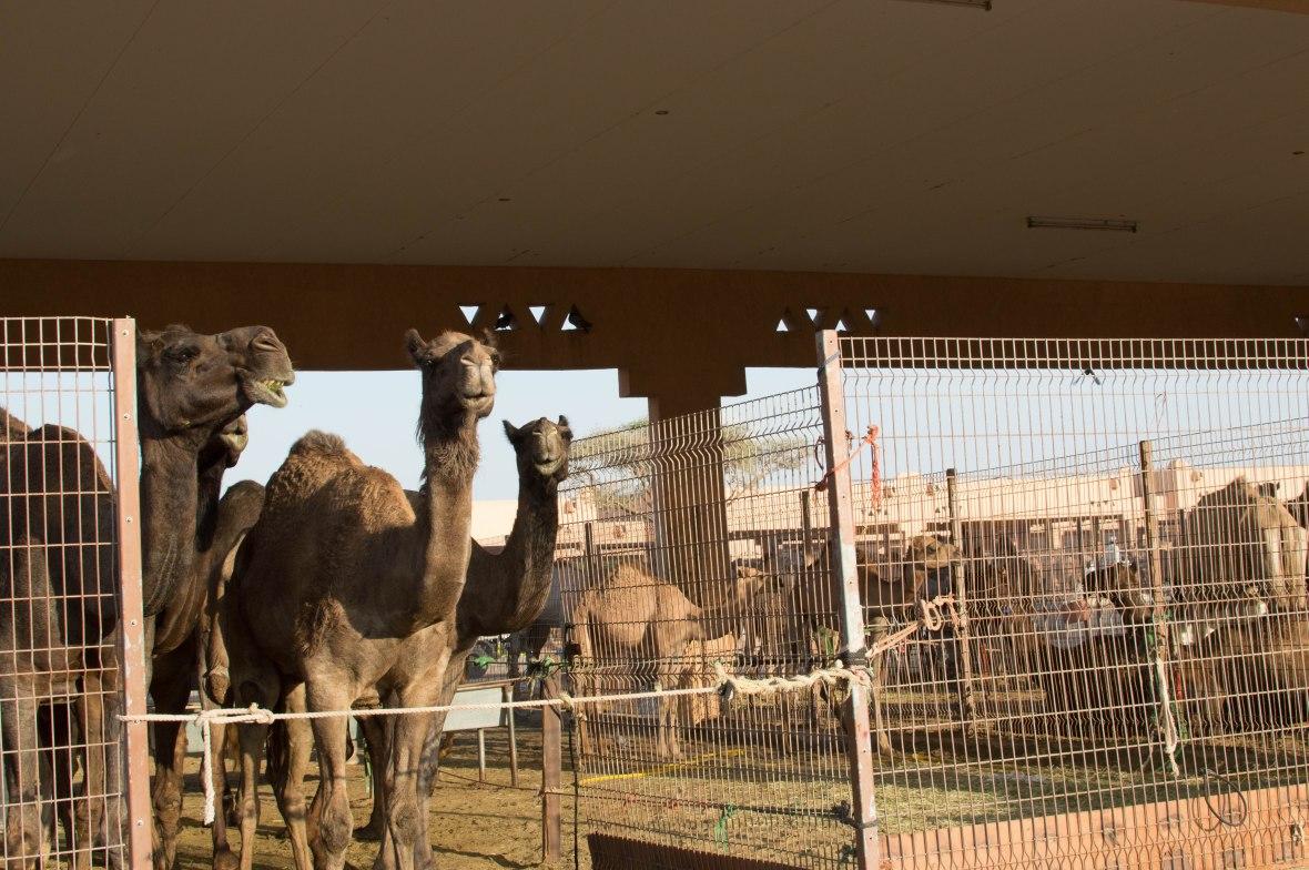 Camels, Camel Market, Al Ain, UAE (6)