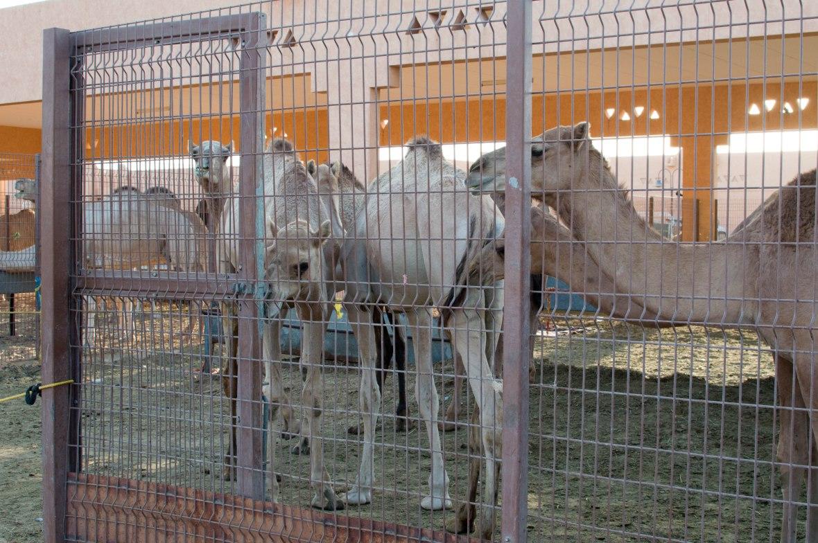 Camels, Camel Market, Al Ain, UAE (7)