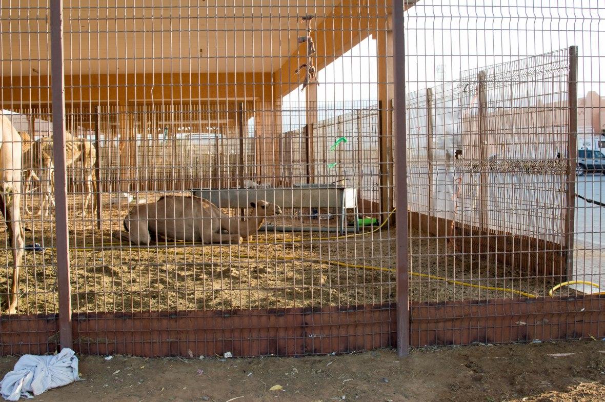 Camels, Camel Market, Al Ain, UAE (8)