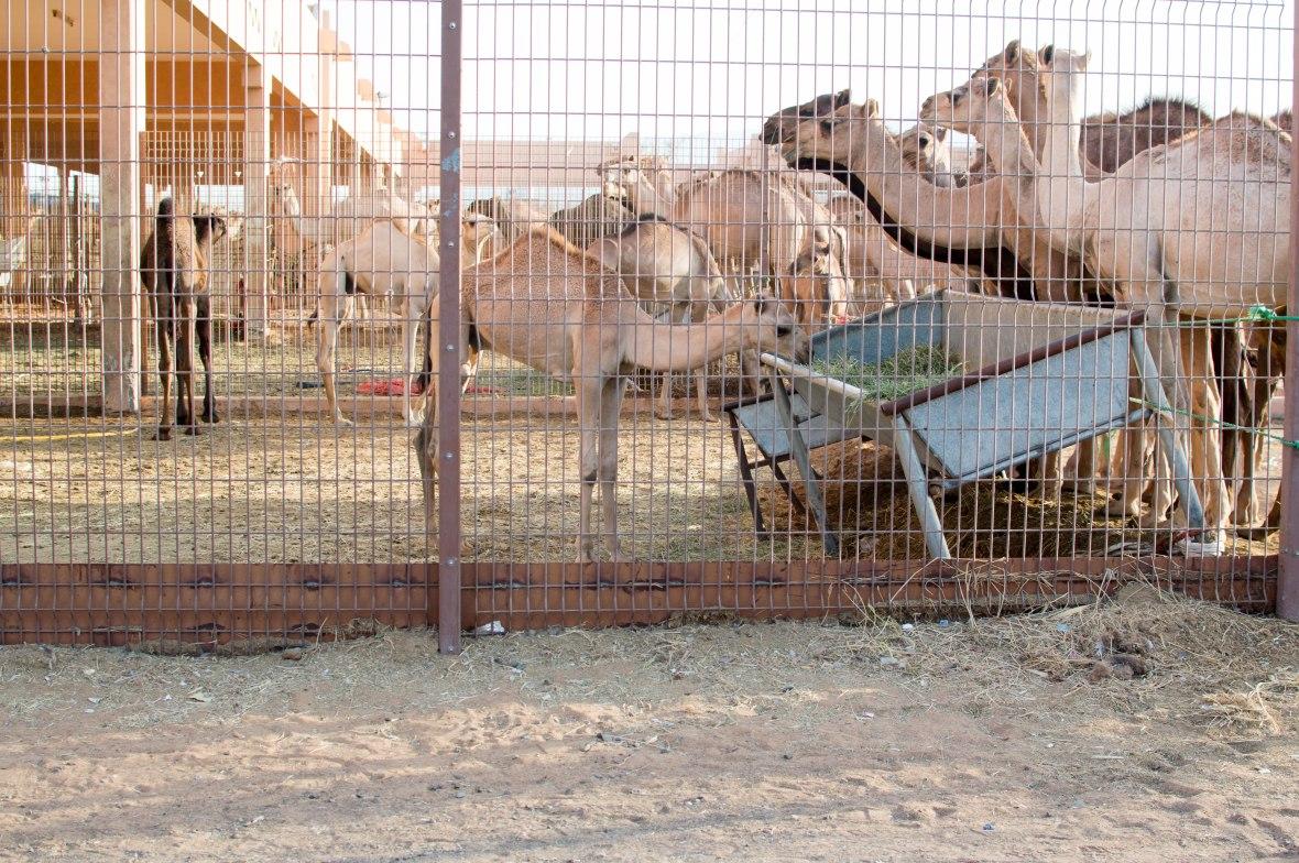 Camels, Camel Market, Al Ain, UAE