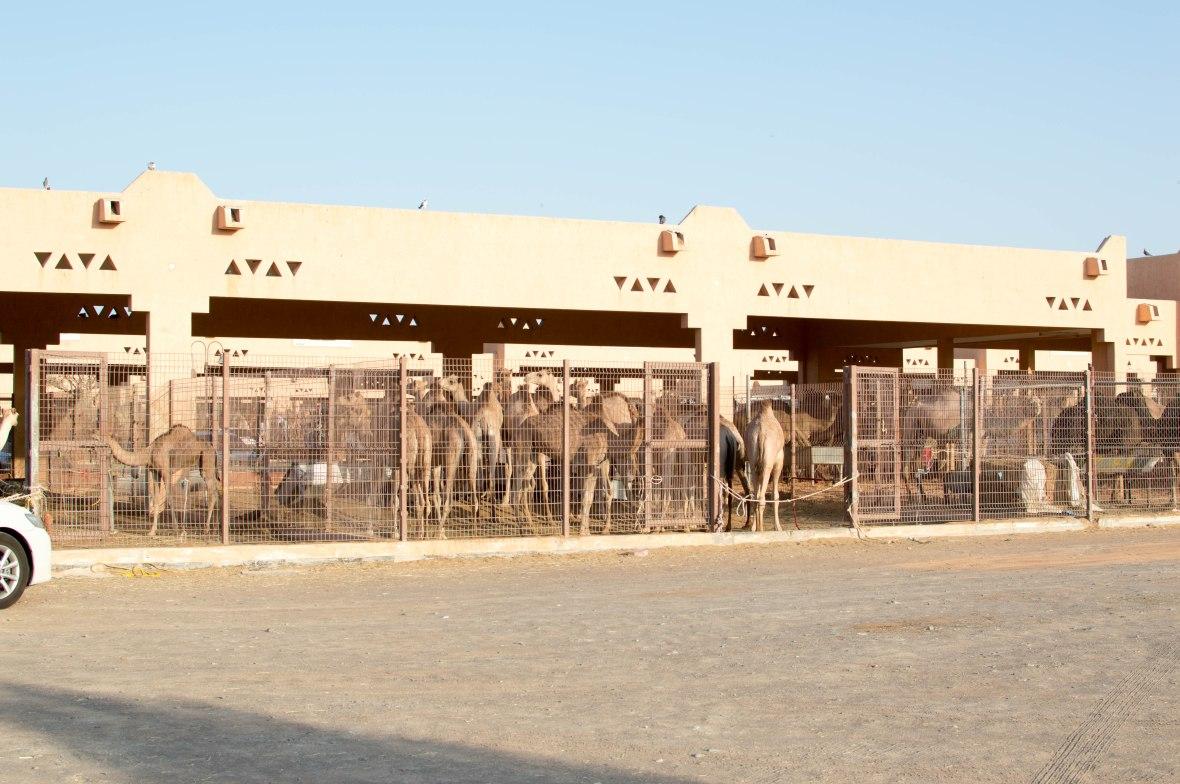 Camels, Livestock Market, UAE (2)