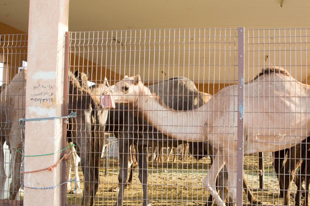 Camels, Livestock Market, UAE (3)