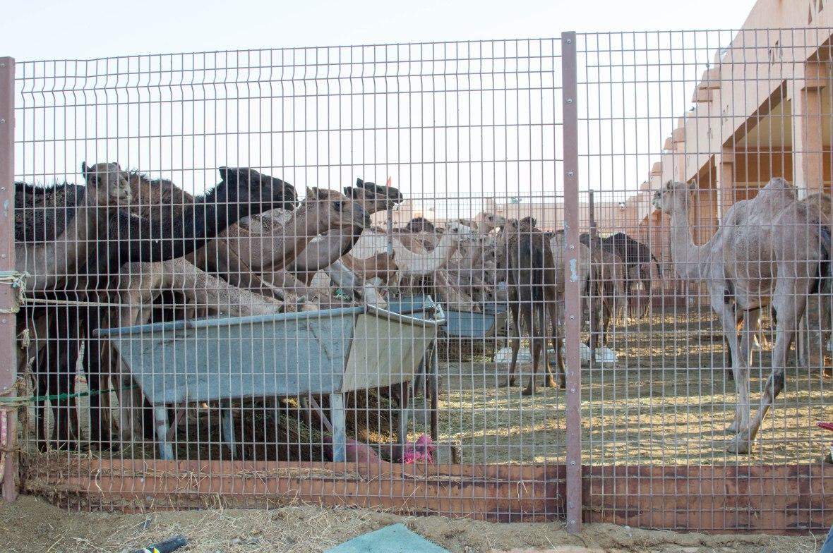 Camels, Livestock Market, UAE (4)