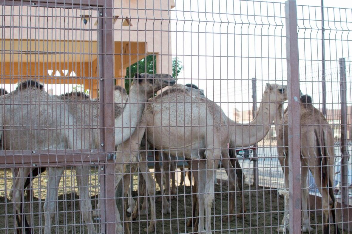 Camels, Livestock Market, UAE