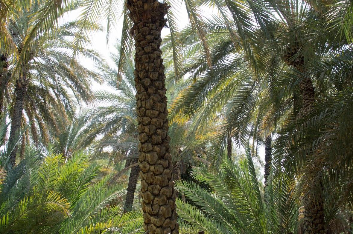 Date Trees, Al Ain Oasis, Al Ain, UAE (10)
