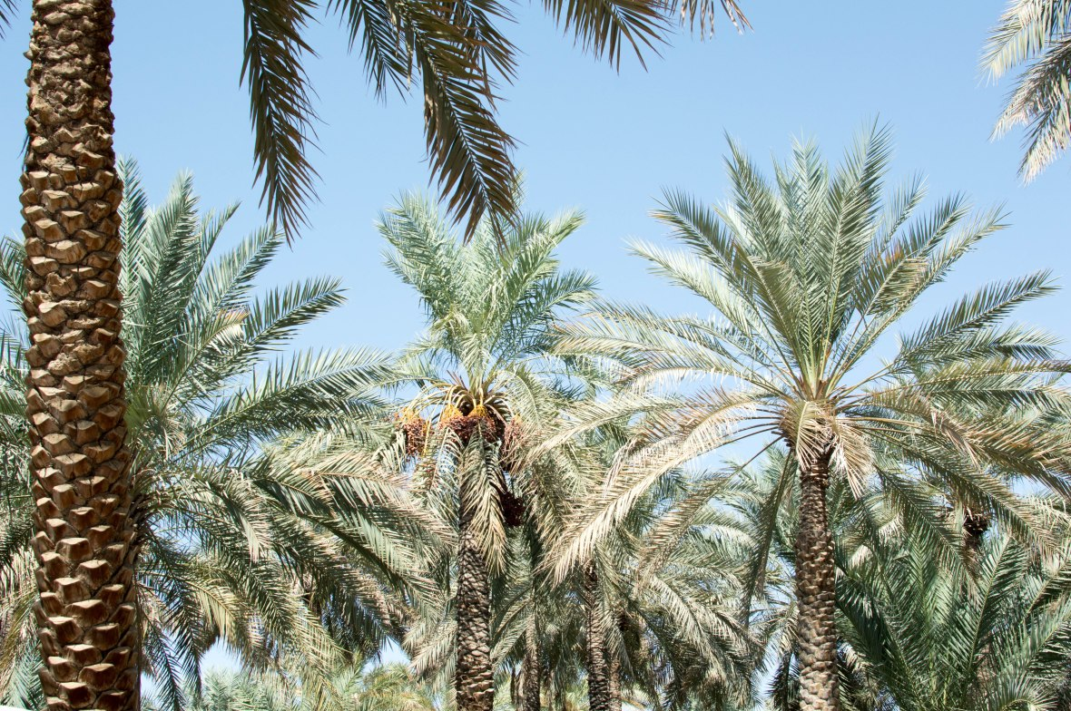 Date Trees, Al Ain Oasis, Al Ain, UAE (2)