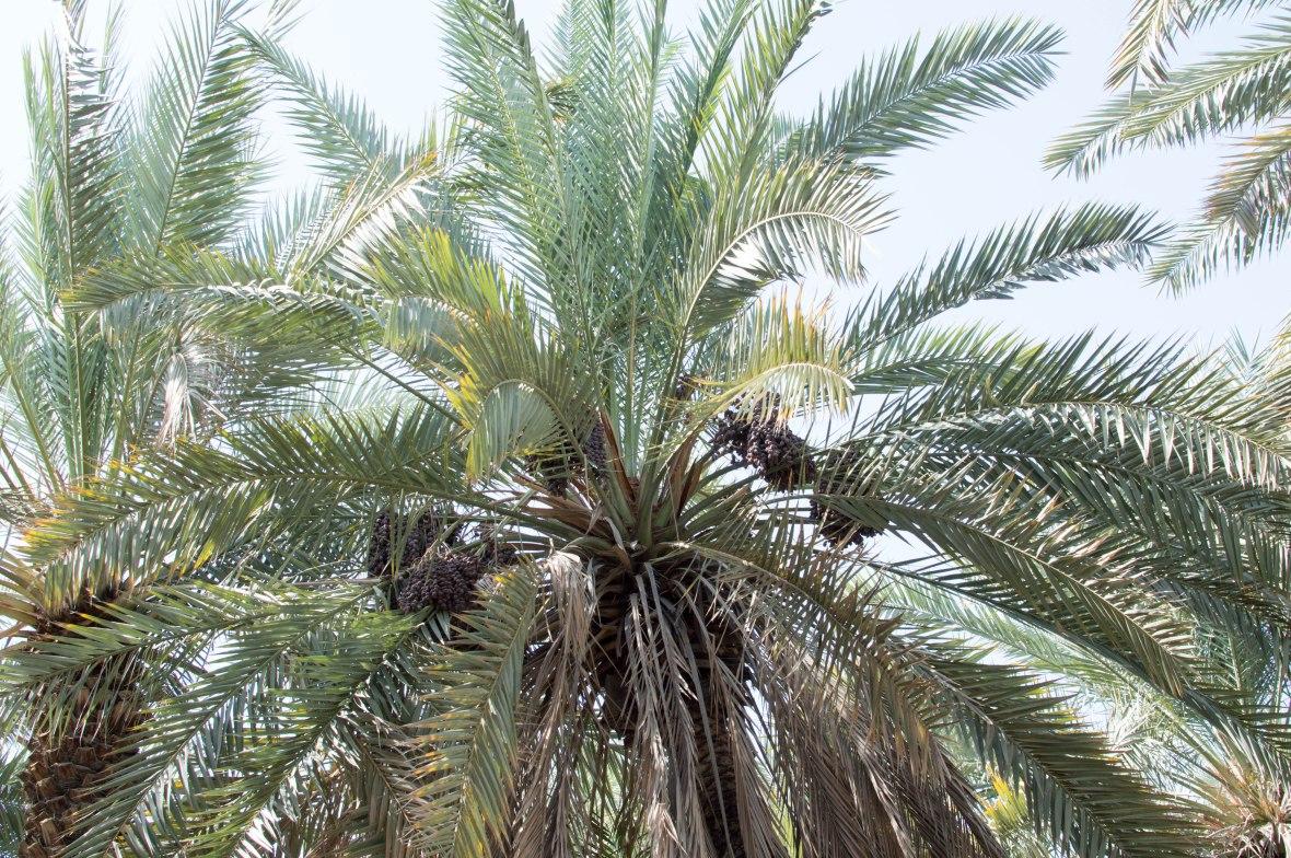 Date Trees, Al Ain Oasis, Al Ain, UAE (3)