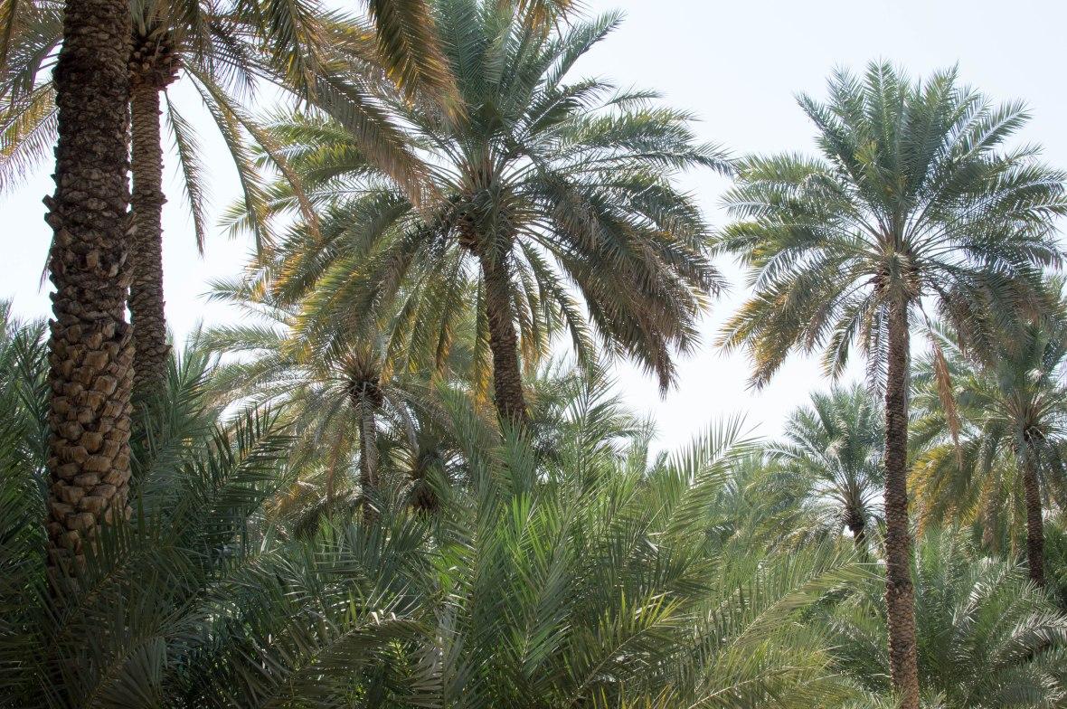 Date Trees, Al Ain Oasis, Al Ain, UAE (4)