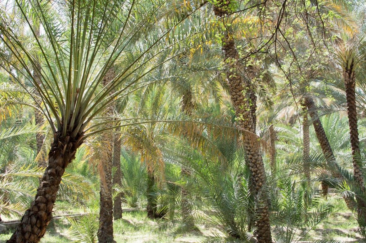 Date Trees, Al Ain Oasis, Al Ain, UAE (5)