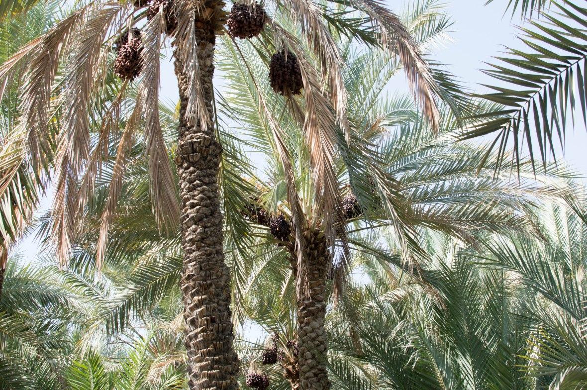 Date Trees, Al Ain Oasis, Al Ain, UAE (7)