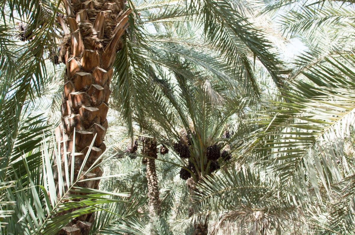 Date Trees, Al Ain Oasis, Al Ain, UAE (8)