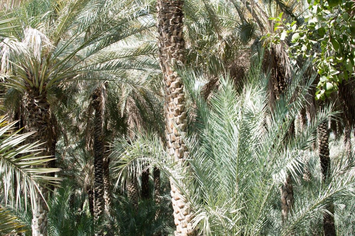 Date Trees, Al Ain Oasis, Al Ain, UAE.jpg