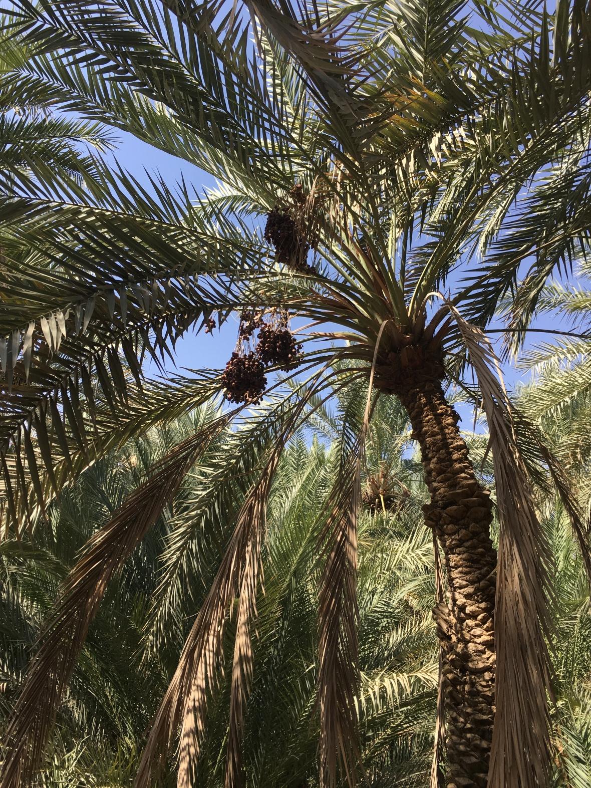 Date Trees, Al Ain Oasis, UAE