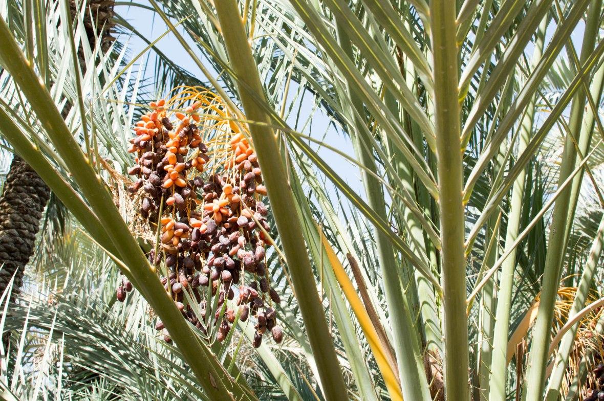 Dates, Al Ain Oasis, Al Ain, UAE (2)