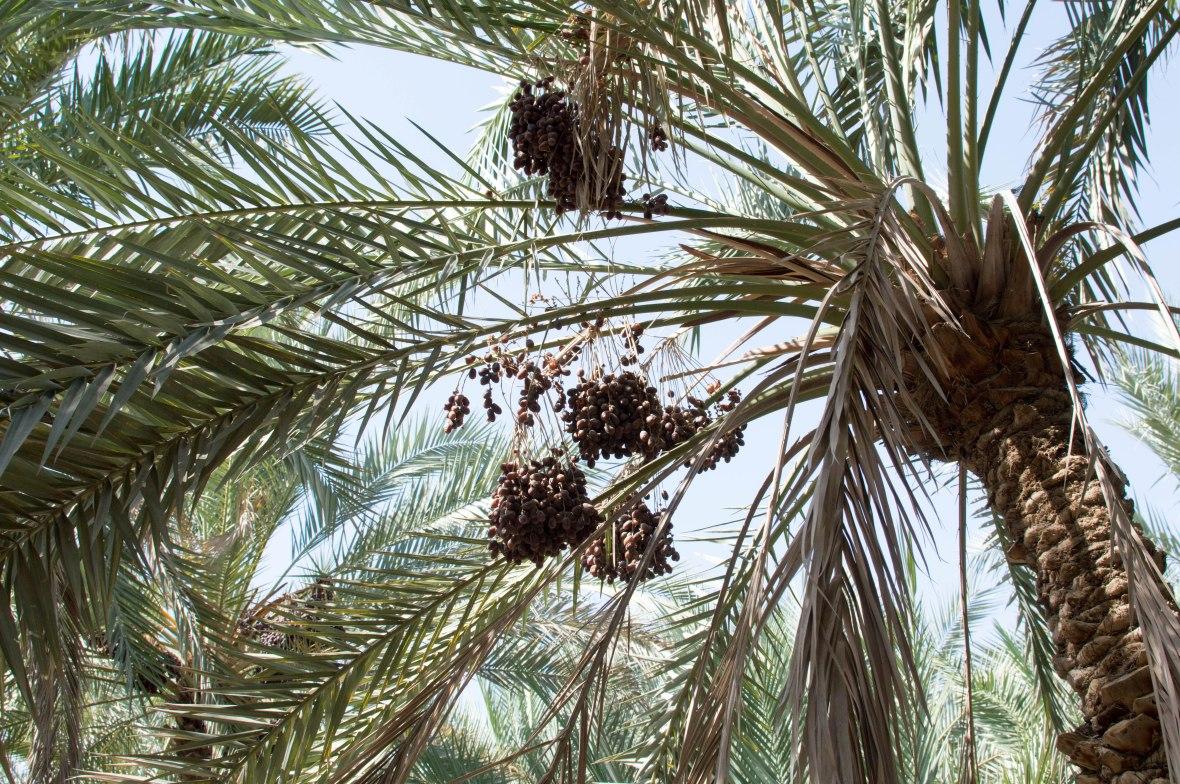 Dates, Al Ain Oasis, Al Ain, UAE