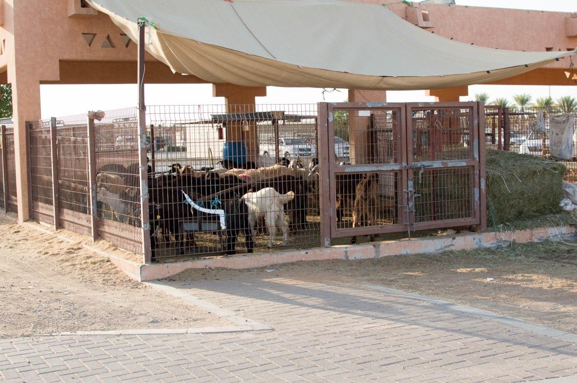 Goats, Livestock Market, Al Ain, UAE