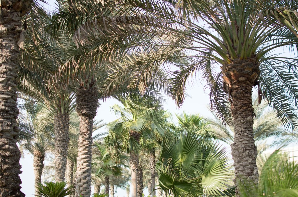 Palm Trees, Palm Jumeirah, Dubai, UAE