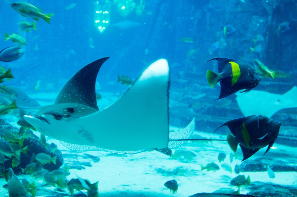 Stingray, Atlantis Aquarium, Palm Jumeirah, Dubai, UAE