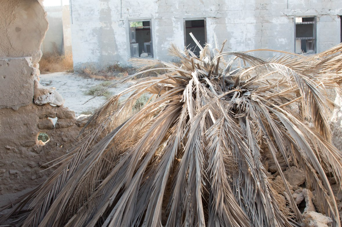 Fallen Dead Palm Tree, Abandoned City, Al Jazirat Al Hamra, Ras Al Khaimah, UAE