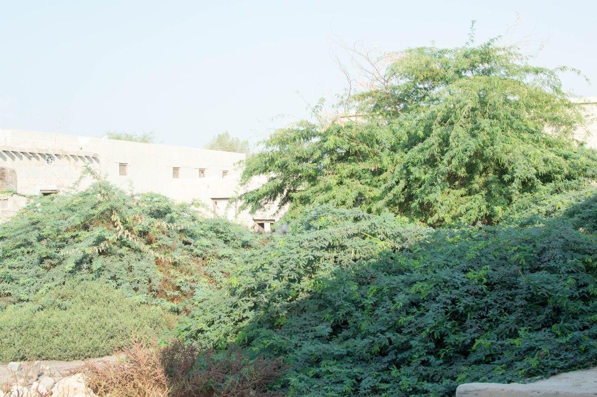Overgrown Shrubs, Abandoned City, Al Jazirat Al Hamra, Ras Al Khaimah, UAE