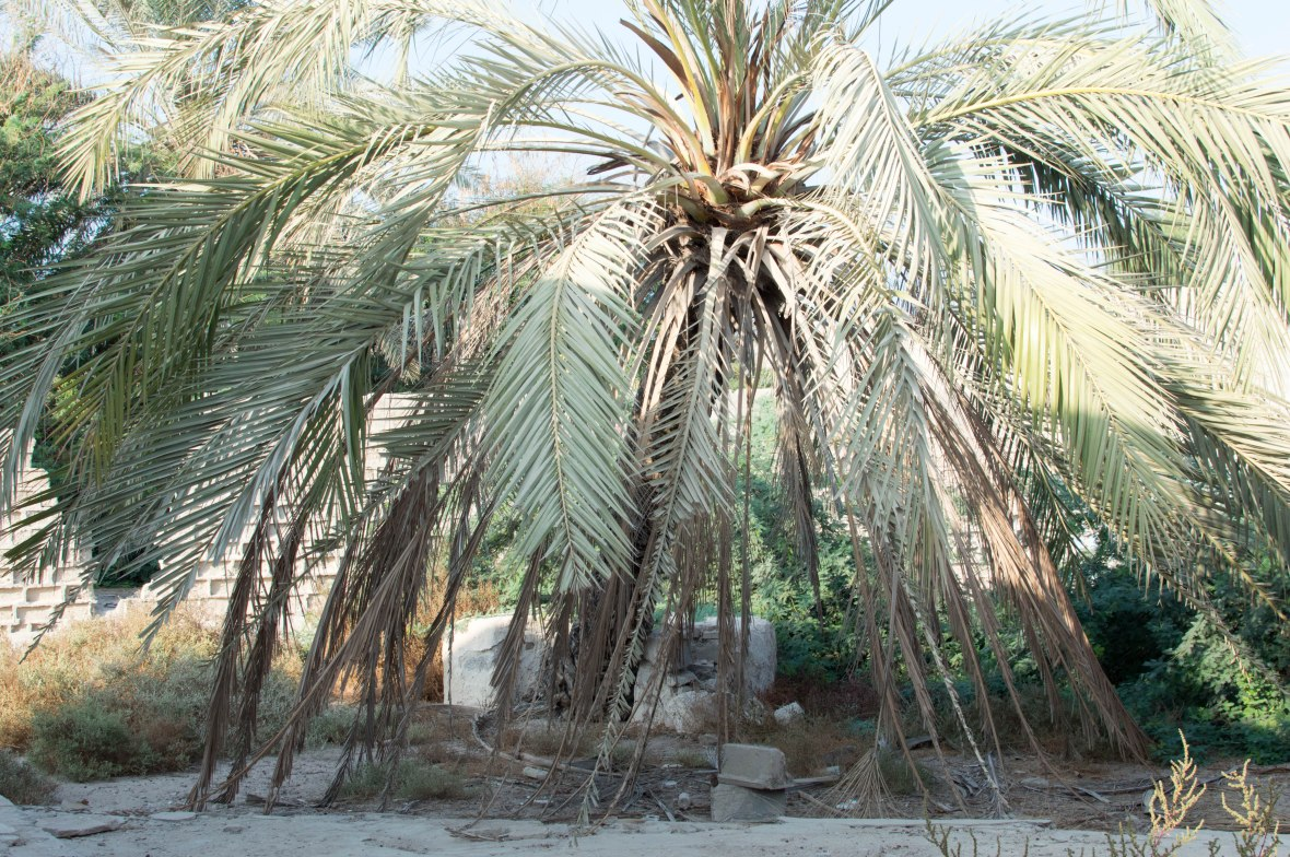 Palm Tree, Court Yard, Abandoned City, Al Jazirat Al Hamra, Ras Al Khaimah, UAE