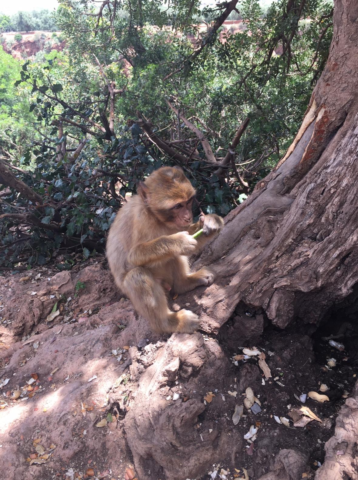 Baby Monkey At Cascades D'Ouzoud, Morocco