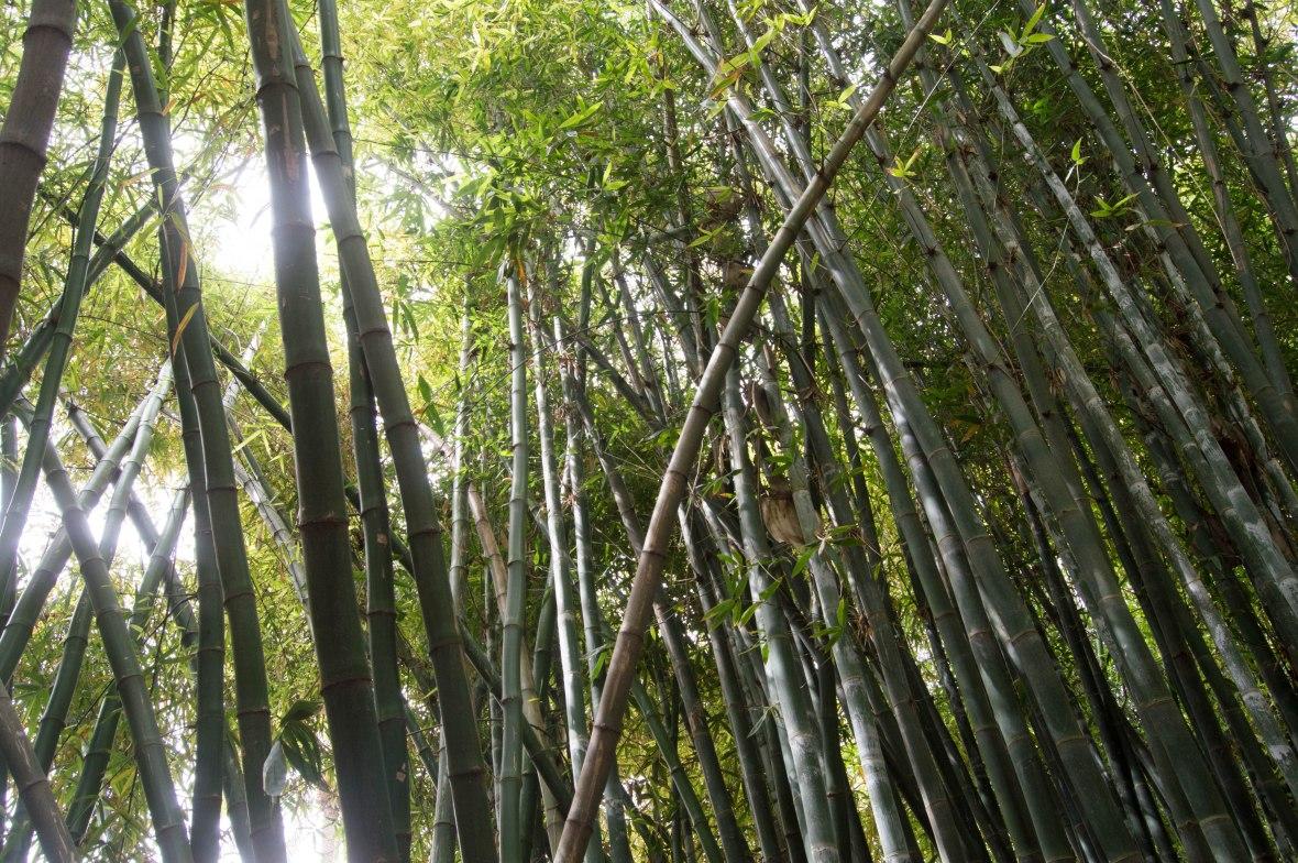 Bamboo, Majorelle Garden, Marrakech, Morocco