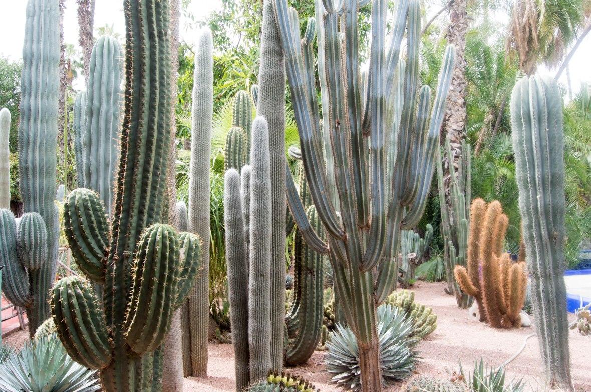 Cactus Plants, Majorelle Garden, Marrakech, Morocco