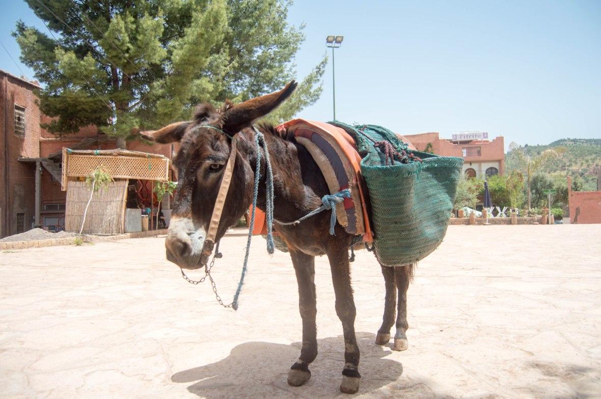 Donkey, Ouzoud Falls, Morocco
