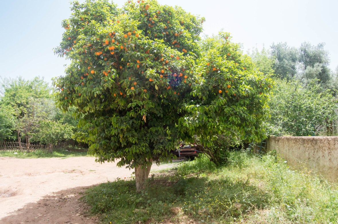 Orange Tree, Morocco