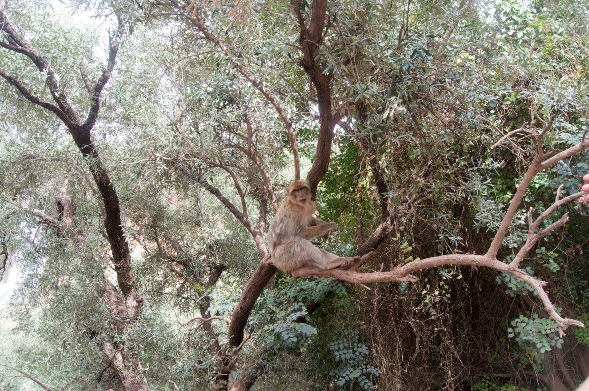 Wild Monkey In The Trees, Morocco