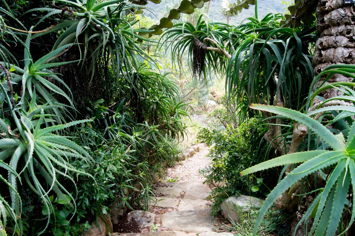 aloe-path-national-kirstenbosch-garden-cape-town-south-africa