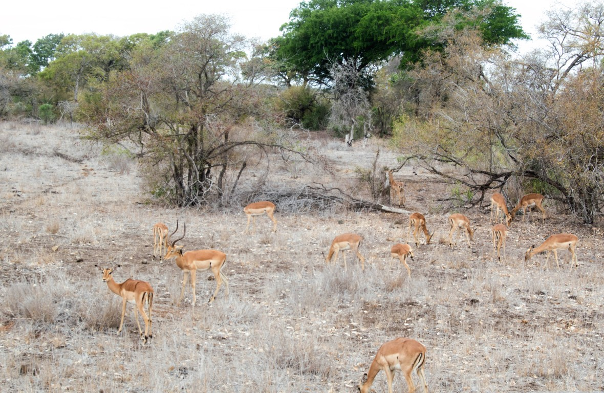 antelope-impalas-safari-kruger-national-park-south-africa