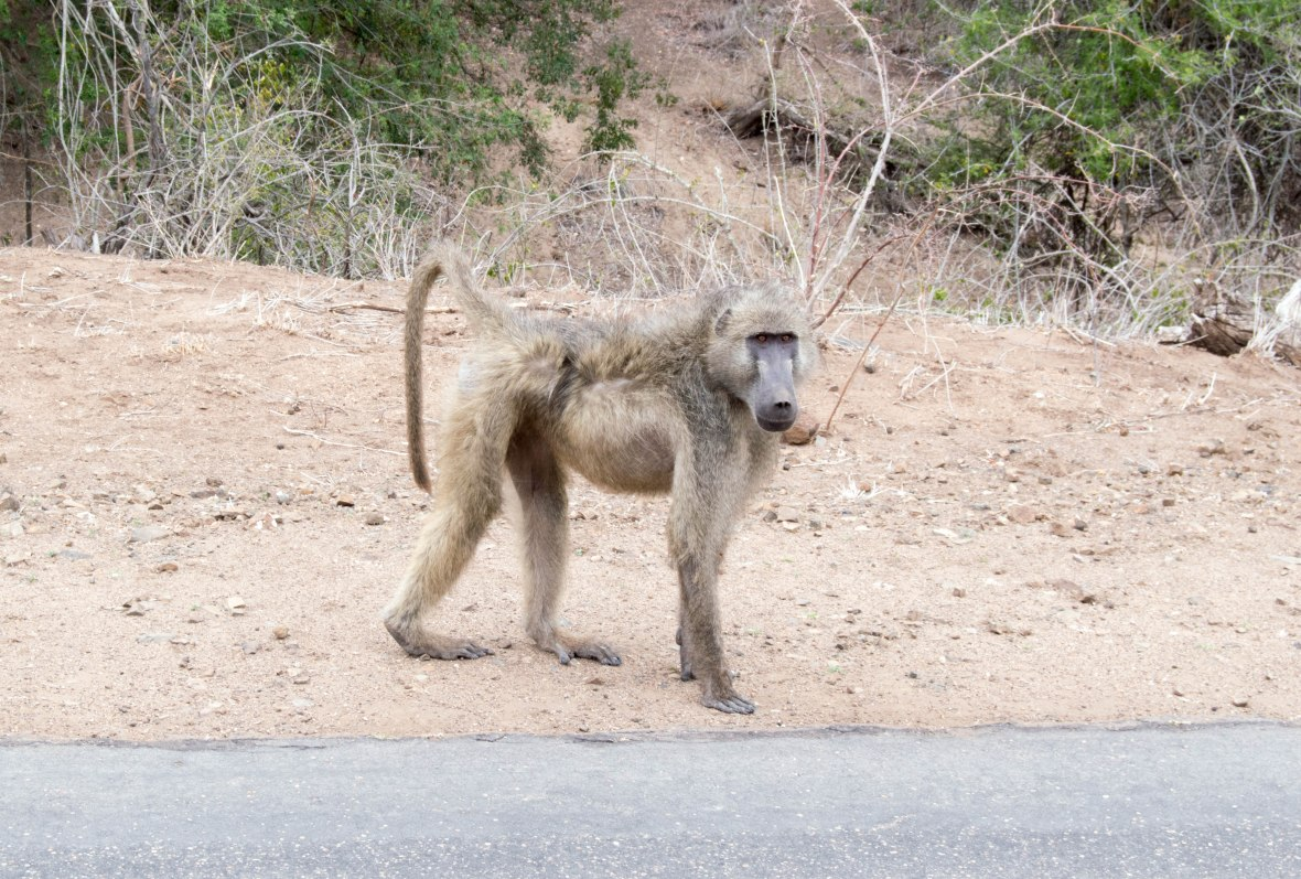 baboon-safari-kruger-national-park-south-africa