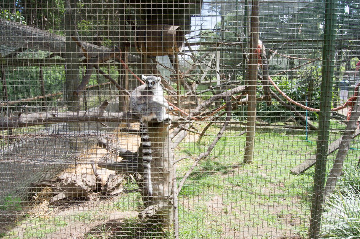 lemur-monkey-town-cape-town-south-africa