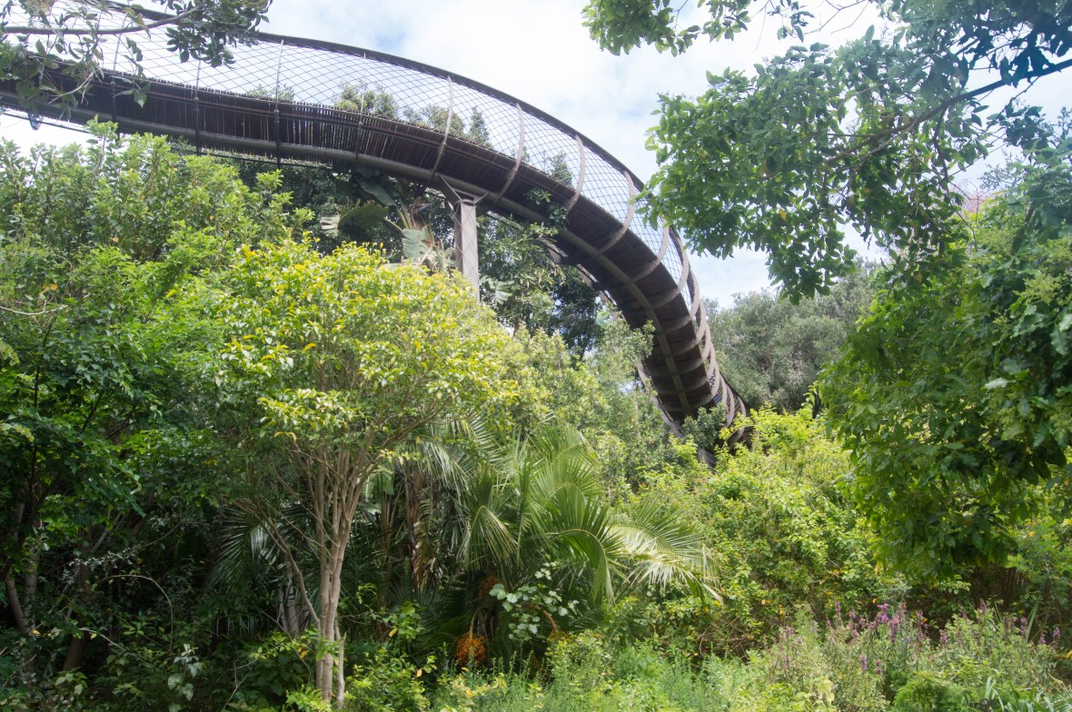 looking-up-centenary-tree-canopy-walkway-national-kirstenbosch-garden-cape-town-south-africa