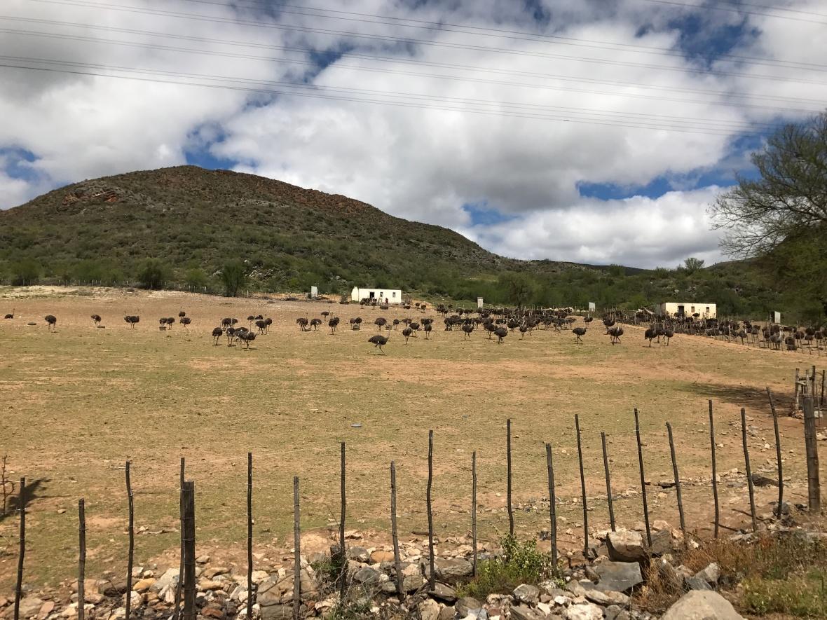 ostrich-farm-in-oudtshoorn-south-africa